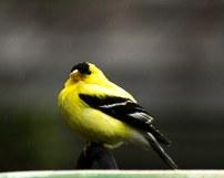 American Canary