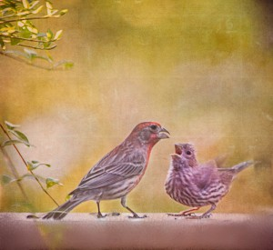 House Finch Dad and Baby