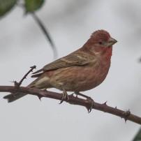 House Finch- male