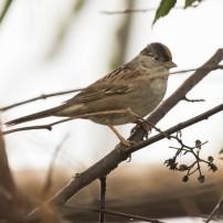 Black-headed Sparrow