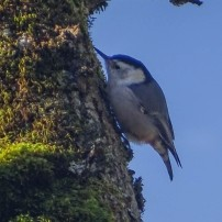 Gray Nuthatch