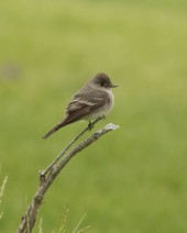 Western Wood Pewee (flycatcher)