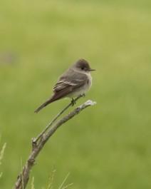 Western Wood Pewee (flycatcher)