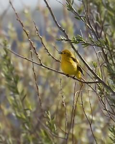 Yellow Rumped-Warbler