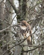 Red-Tailered Hawk