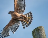 Cooper's Hawk in fly