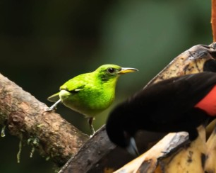 Green Honey Creeper, female