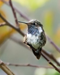 Volcano Hummingbird, male