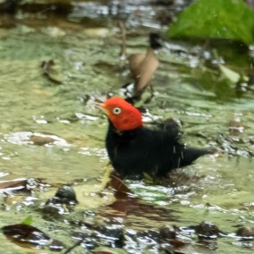 Red-capped manakin, male