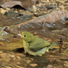 Red-capped Manakin, female