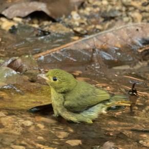 Red-capped Manakin, female
