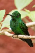 Green-crowned Brilliant, male