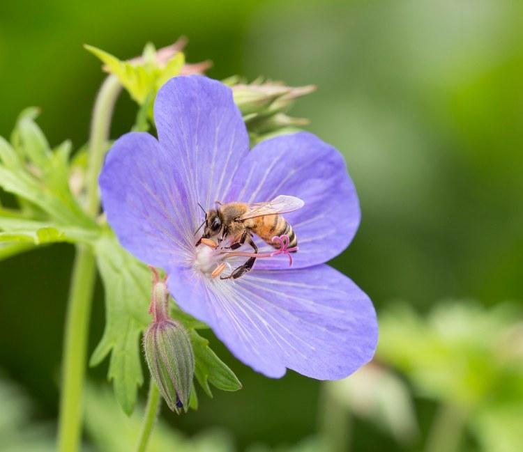 Honey Bee on blue geranium