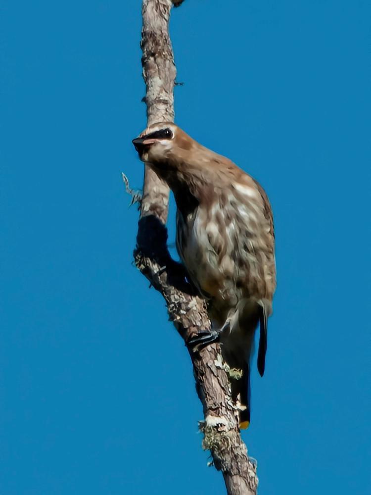 Cidar Waxwing, fledgling